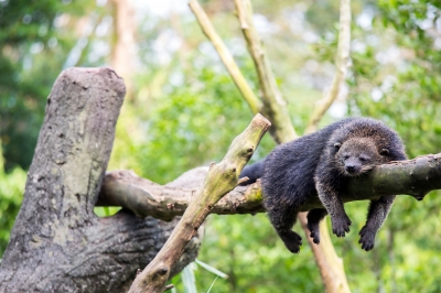 vvdenman bearcat
